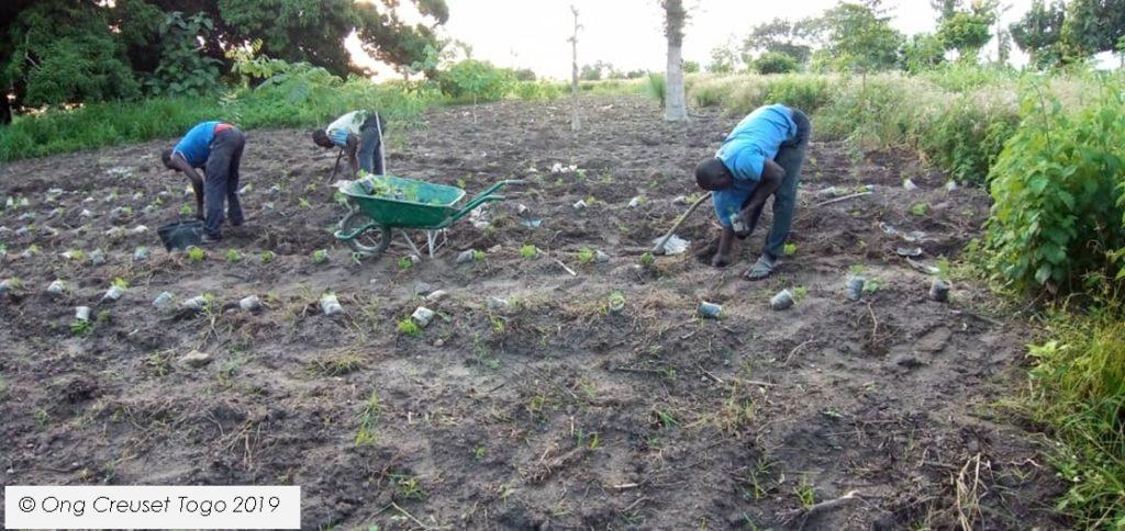 La culture de l'Artemisia à la ferme agricole de Creuset Togo à Sokodé